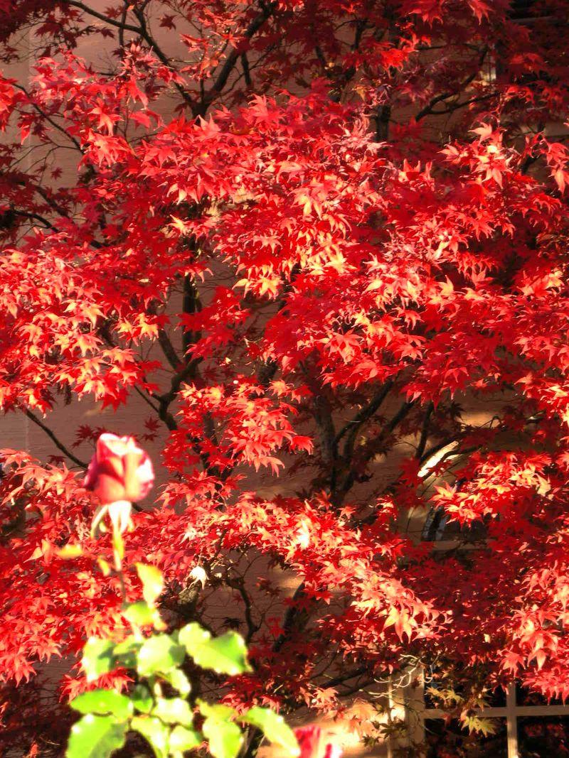 Japan Maple & Rose