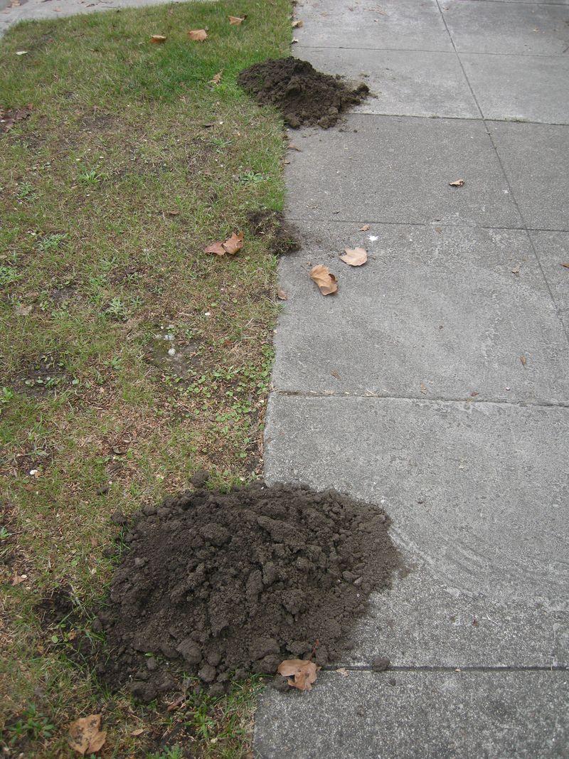 Moles digging