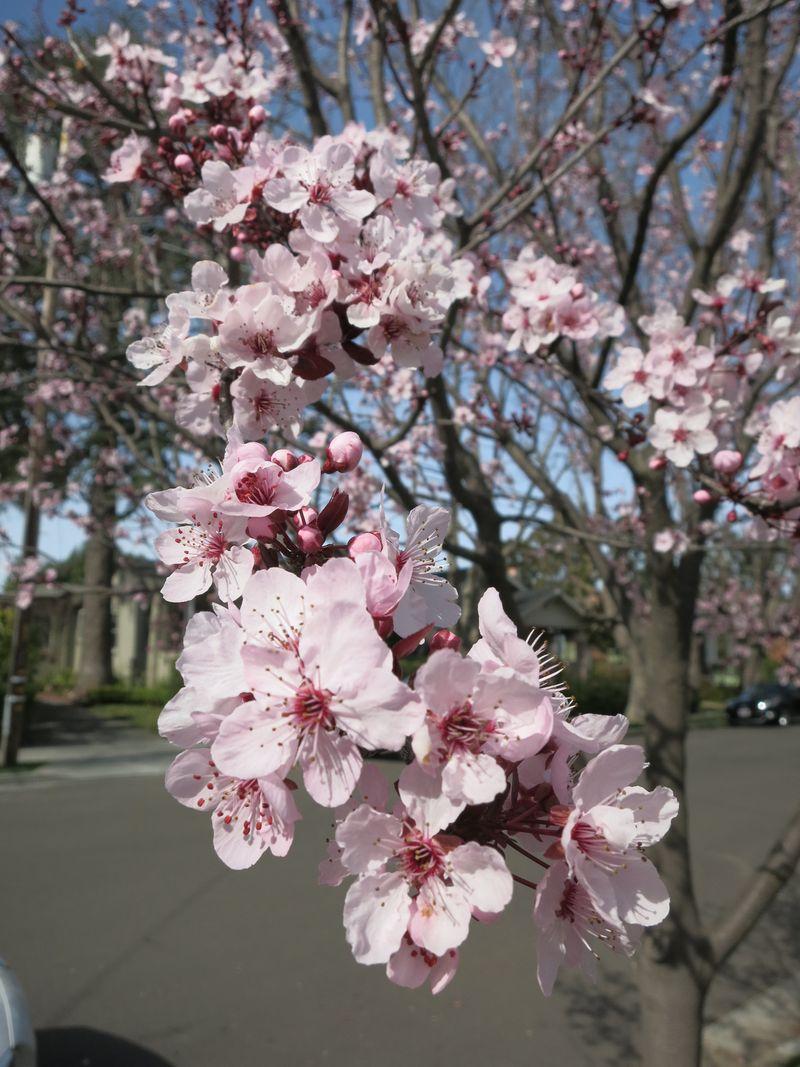 Apple blossoms_Feb17