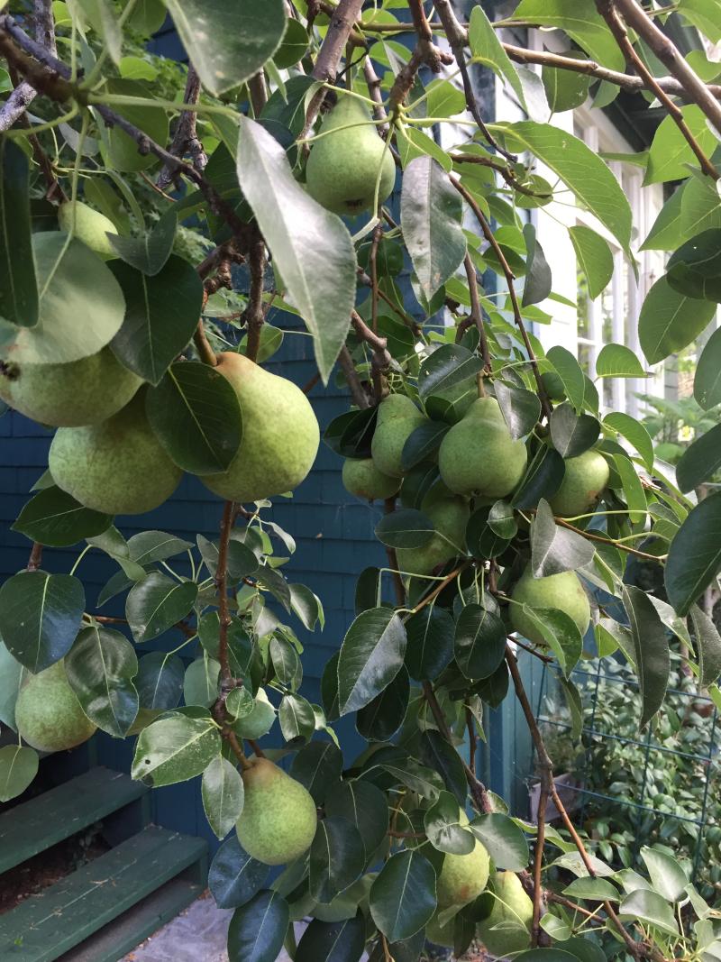 2017 Pear harvest