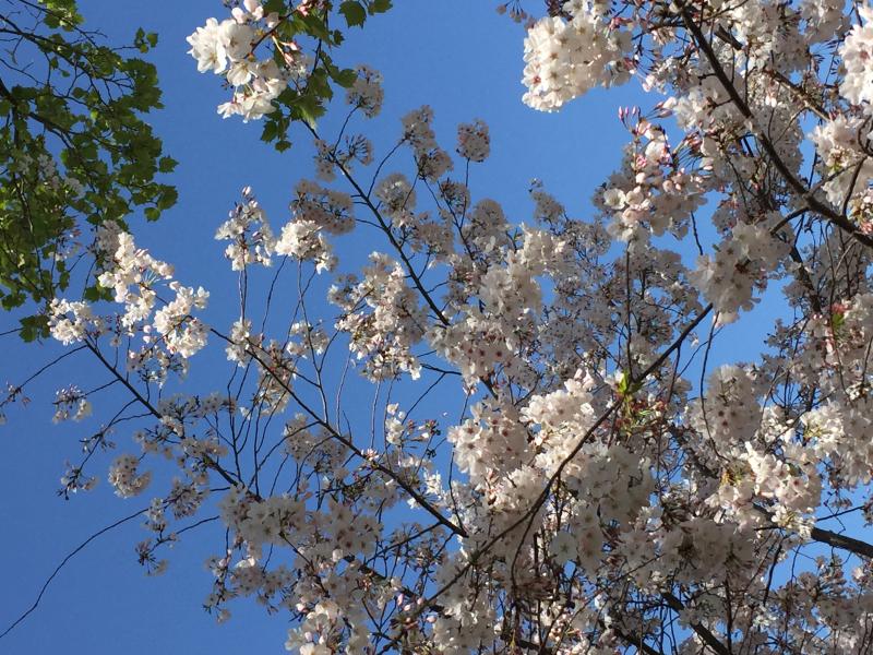 Spring 2018 tree_cherry