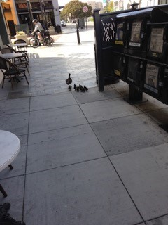Ducks on the Ave