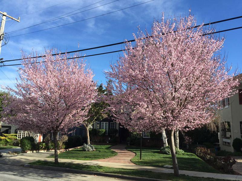 Fruitless plums_Easton_2016