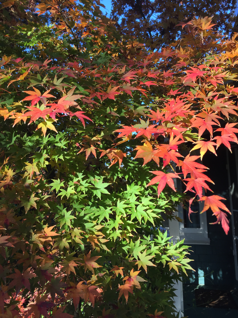 Japanese Maple half changed