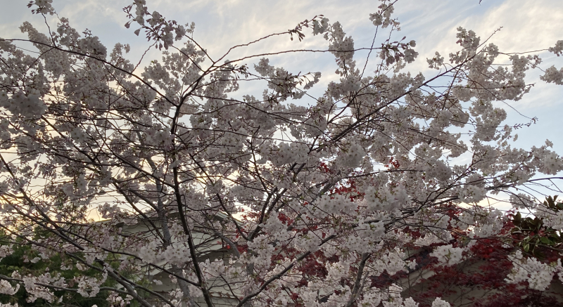 Cherries 1_2021